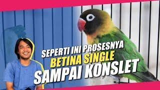 Download lagu SEPERTI INI RAWATAN LOVEBIRD BETINA SINGLE FIGHTER SAMPAI KONSLET - BERSAMA OM DIDOZ