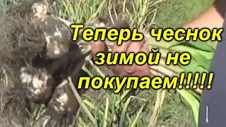 УБОРКА ЧЕСНОКА-СОРТ ЛЮБАША И САБАДРОМ!