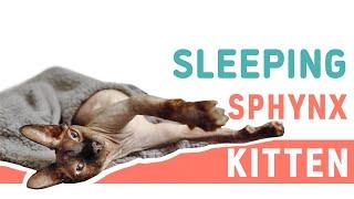 Sphynx Kitten Sleeping   Adorable Sphynx Cat   Meow