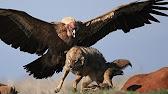 Южноамериканская гарпия - лесной орёл. - YouTube
