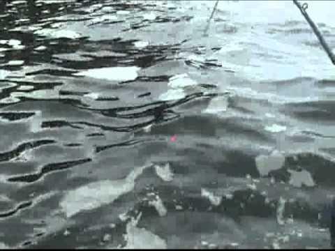 30 lb king salmon caught at waterfall resort alaska for Alaska out of state fishing license