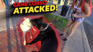 Cane Corso Attack!