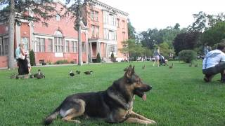 German Shepherd Trained For Personal Protection Loose In The Park. Watch What Happens.