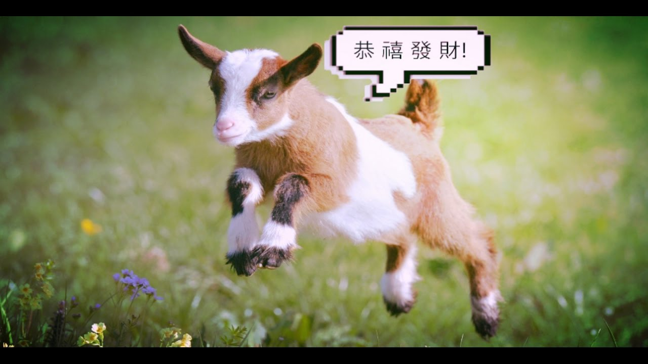 goats screaming happy new year in mandarin