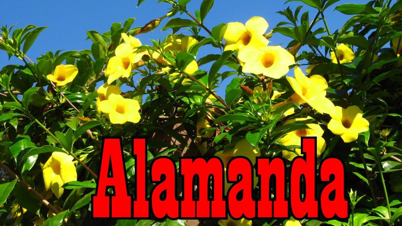 Mondini plantas como cultivar alamanda youtube for Como cultivar plantas ornamentales