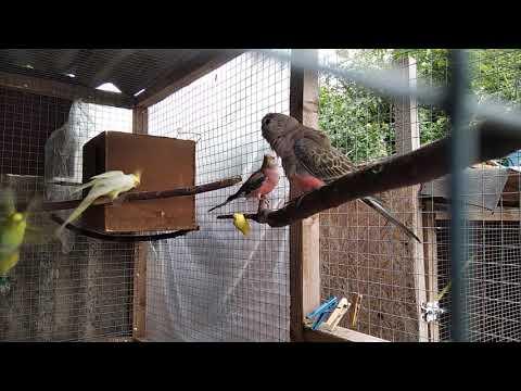 Мои новые попугайчики! Розовобрюхие травяные попугайчики. Боурка.