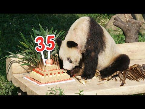 Giant Panda Xin Xing's 35th birthday celebration!
