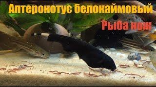 Аптеронотус белокаймовый, Рыба нож