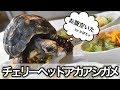 チェリーヘッドアカアシガメの飼い方 の動画、YouTube動画。