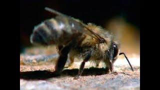 Документальный фильм «Королева леса» Бурзянская пчела