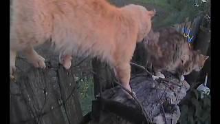 Кошки на заборе нюхают и метят