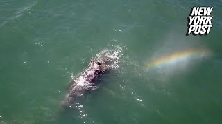 The rainbow that spouts from this whale is utterly breathtaking | New York Post