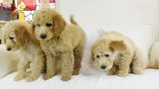 ラブラドゥードルは、動物アレルギーを持つ人の介助犬になることを目的...