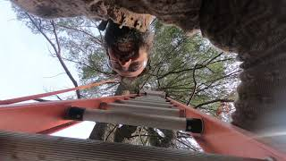 Husband and Wife Felling a Large Pine - Too Close for Comfort!