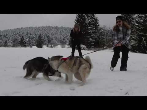 Travel Video - Husky Dog Hiking/Trekking In Thüringen, Germany