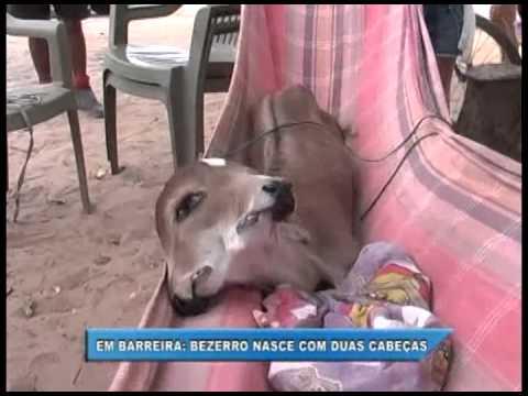 Em Barreira-Ce Bezerro nasce com duas cabeças, três olhos e duas bocas.
