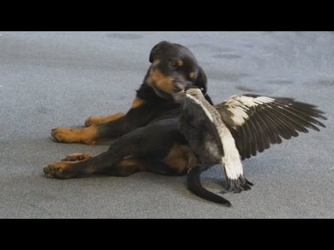 Rescued magpie plays with dog