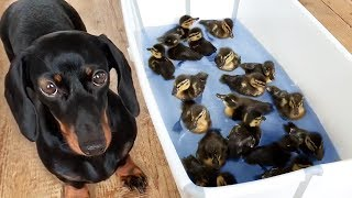 Bath with 18 duckilings