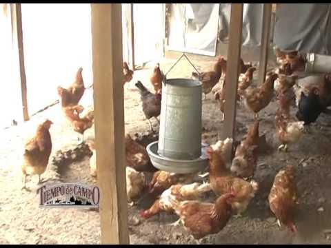 Bienestar Animal – Cría de Gallinas Ponedoras