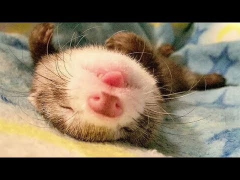 IMPOSSIBLE NOT to BURST OUT LAUGHING - Funny and cute FERRETS and other ANIMALS compilation
