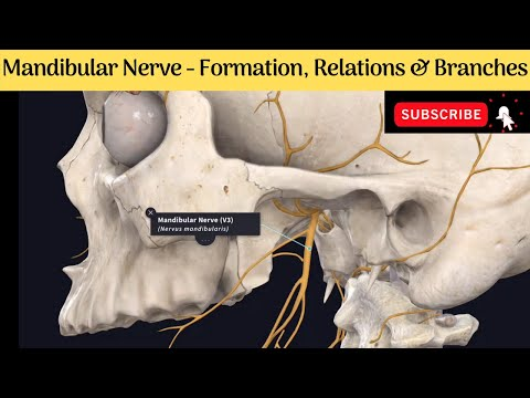 Mandibular Nerve | Formation | Course | Relations | Branches