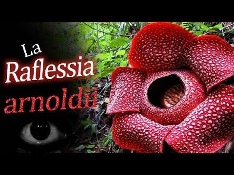 Plantas raras: Raflessia Arnoldii