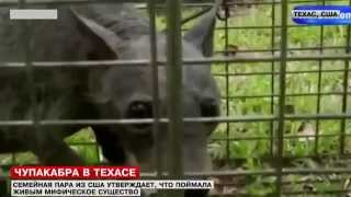 В Техассе поймали чупакабру...?(Канал LifeNews сообщает: http://lifenews.ru/news/130612 Загадка чупакабры близка к разрешению. По крайней мере так считает..., 2014-04-05T03:42:46.000Z)