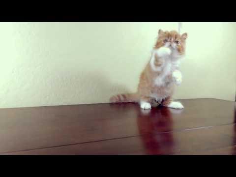 Gavin, Thief of Hearts. Pretty Exotic Longhair/Persian kitten