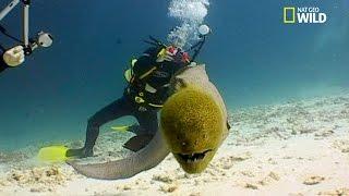 Une murène mange le pouce d'un plongeur