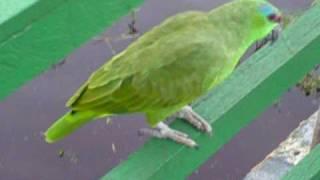 Amazonia - Papagaio