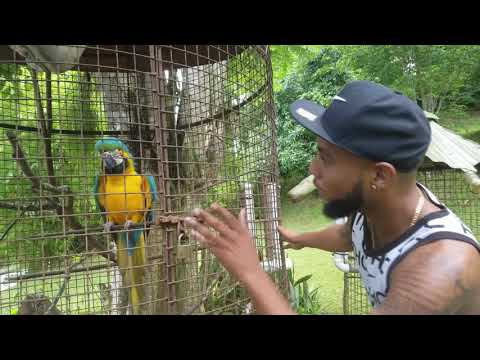 JAH REDDIS (bajan comedy) Parrots ain't got no respect