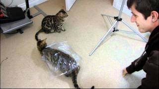 Rocket and Rumble Playing With a Plastic Wrapper Linus Cat Tips