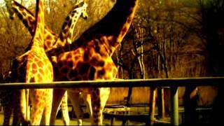 Żyrafy w Zoo - Śmierć przyszła w nocy! ★ Hana i Suri nie żyją
