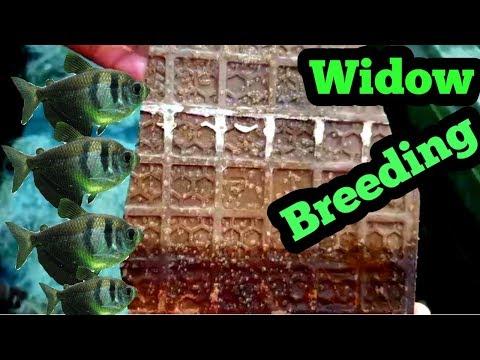 Widow Tetra Fish Breeding Easyly With English Subtitle..