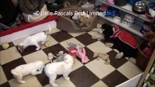 Little Rascals Uk Breeders New Litter Of Cavapoo Puppies
