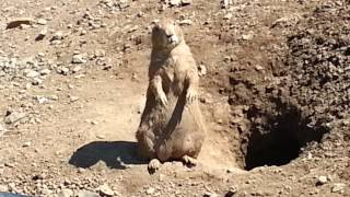 Prairie Dogs at Turtle Back Zoo in Essex New Jersey
