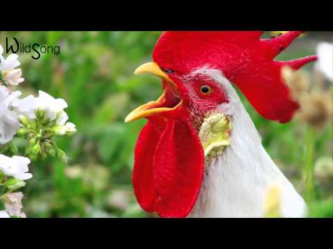Rooster Sound Effect - WildSong