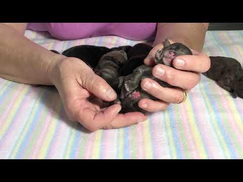 Furgee's new Miniature Schnoodles born June 15, 2019