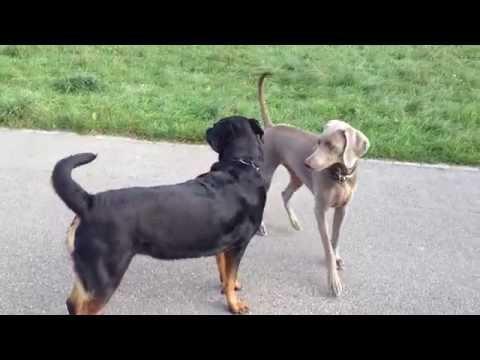 Rottweiler VS Weimaraner