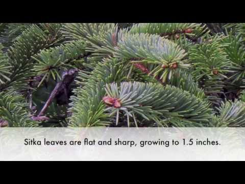 How to identify a Sitka Spruce