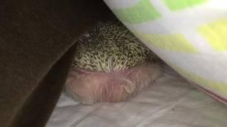 ハリネズミのチャイくん。 隙間でお休み中のチャイくんのお尻を撮影しま...