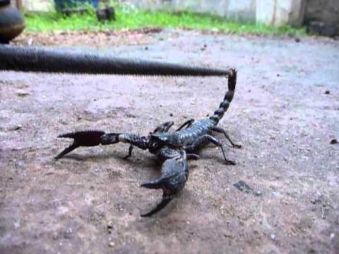 Sri Lanka,ශ්රී ලංකා,Ceylon,Scorpion close-up
