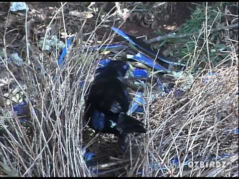 Male Satin Bowerbird Building Bower