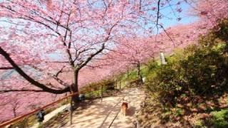 Walk In Cherry Blossoms 20110223 Goro@welsh Corgi