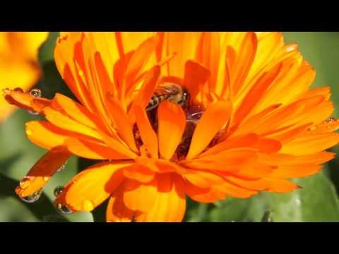 Marigold/Gousblomme in my garden