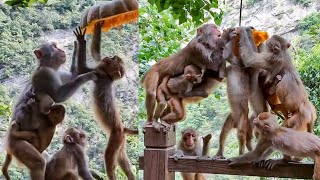 Just For Eat But Not Easy For Them! Monkeys Try By Themself