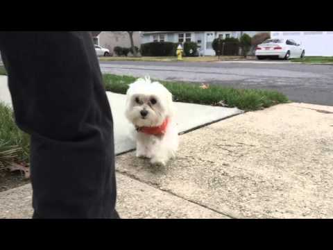 nyc-dog-trainers:-6-month-old-maltese-dog-trainers
