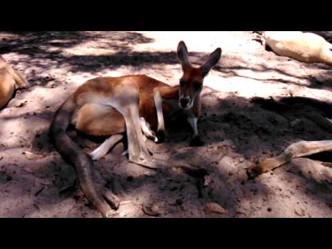 Adorable Kangaroo - Caversham Wildlife Park,Perth