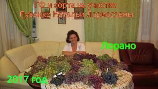 Виноград Лорано - новника селекции Бурдака (Пузенко Наталья Лариасовна)