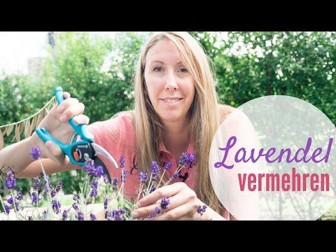 Lavendel Selber Vermehren Mit Stecklingen Und Samen - EinfachKochen Garten Special